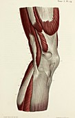Knee muscles, 1866 illustration