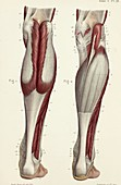 Rear lower leg muscles, 1866 illustrations
