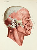 Face muscles, 1866 illustration