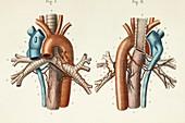 Pulmonary blood vessels anatomy, 1866 illustrations