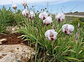 Iris lorteti, wild population