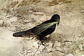 Tristram's starling with nesting material