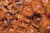 Protopalythoa zoanthid anemones