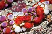 Ctenophora comb jellies