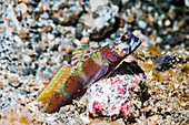 Widebarred shrimp goby