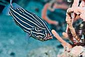 Goldribbon soapfish