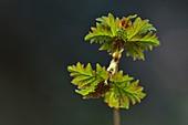Guelder rose (Viburnum opulus) foliage