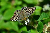 Female silver-washed fritillary butterfly