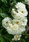 Climbing rose (Rosa 'Winchester') flowers