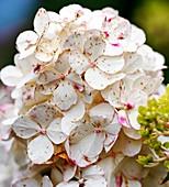 Infestation of flies on Hydrangea flowers
