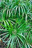 Umbrella plant (Cyperus alternifolius)