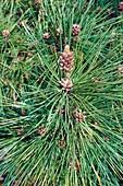 Ponderosa pine (Pinus ponderosa) pollen cones