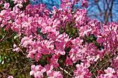 Royal azalea tree (Rhododendron schlippenbachii) in blossom
