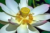 Sacred lotus (Nelumbo nucifera) flowers