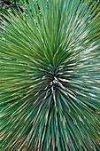 Beaked yucca plant (Yucca rostrata)