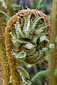 Thick stemmed wood fern (Dryopteris crassirhizoma)