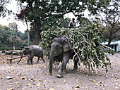 Asian elephant carrying branches