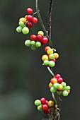 Black bryony (Dioscorea communis) berries