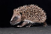 Infant hedgehog