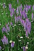 Southern marsh orchid (Dactylorhiza praetermissa) flowers