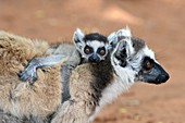 Female ring-tailed lemur with pup