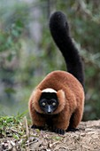 Adult red-ruffed lemur