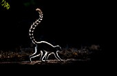 Ring-tailed lemur silhouette