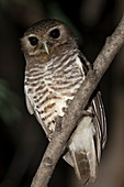 White browed owl.