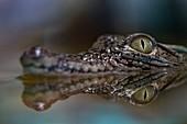 Young nile crocodile portrait