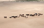 Herd of Zebu cattle on their way to water