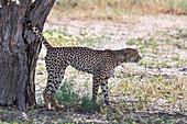 Cheetah marking its territory