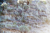 Leopard camouflaged in grasses
