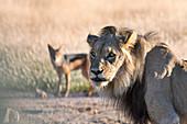Male lion and jackal
