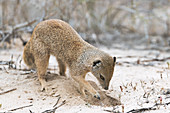 Yellow mongoose digging in sand