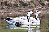 Bar-headed geese, India