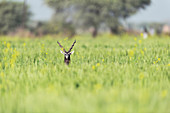 Blackbuck, India