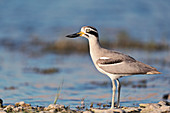 Great stone-curlew, India