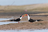 Indian skimmers, India