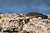 Indian softshell turtle, India