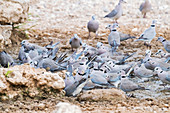 Cape turtle doves drinking water