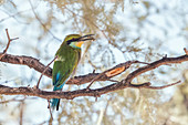 Swallow-tailed bee-eater with its insect prey
