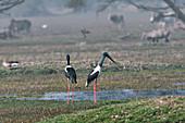 Black-necked stork, India