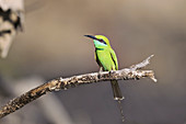 Green bee-eater, India