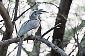 Indian grey hornbill, India