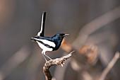 Magpie-robin, India