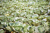 Cabbage patch, Swaziland