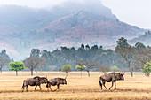 Wildebeest, Mlilwane Wildlife Sanctuary, Swaziland