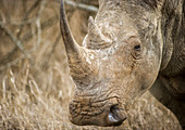 Rhinoceros at Hlane Royal Game Preserve, Swaziland