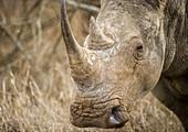 Rhinoceros at Hlane Royal Game Preserve, Swaziland