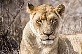 Female lion at Hlane Royal Game Preserve, Swaziland